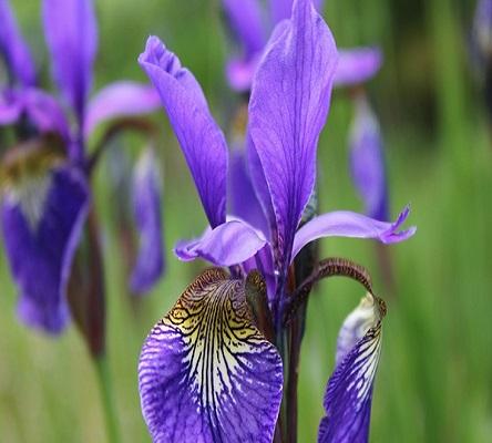 Iriser