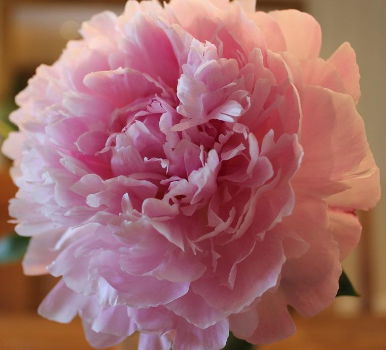 Rosa peon 1