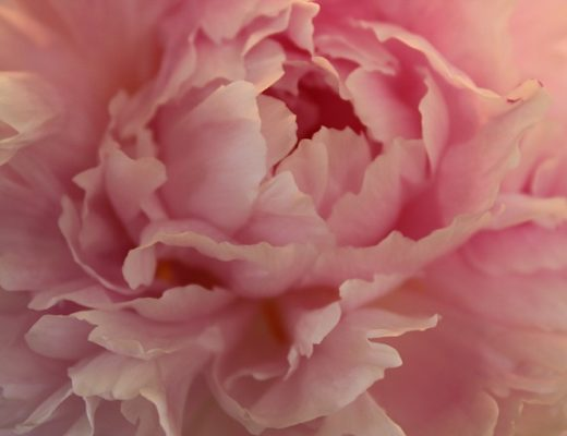 Rosa peon